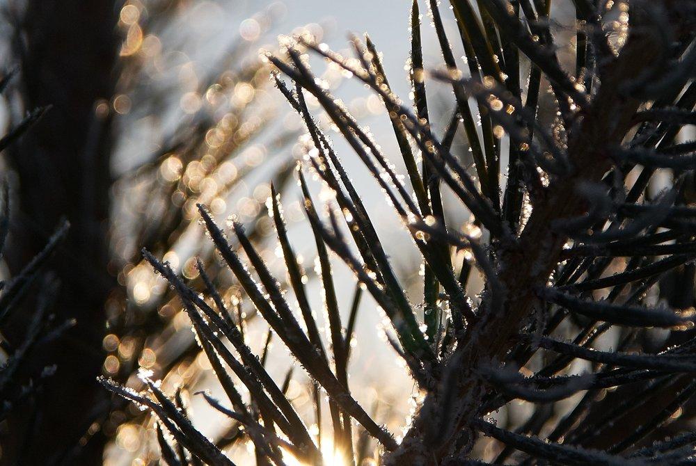 icy-pine-needles-pine-tree-902325.jpg