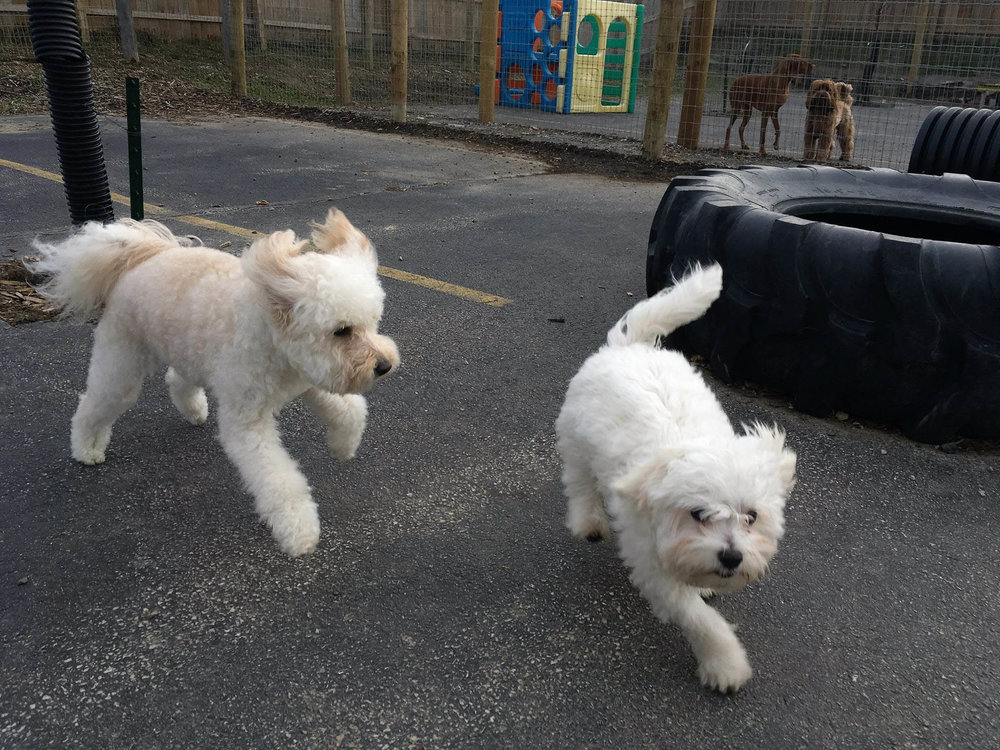 Two dogs playing at day care