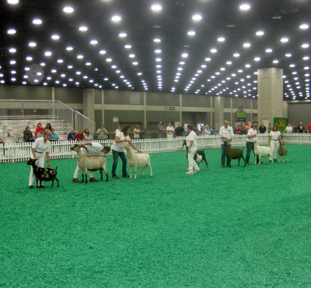 SGCH Cedar View Isabella 4*M is on the far left in the show ring with all breeds when she was chosen Supreme Udder in Show Sunday night.