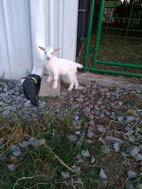 Simone freshened 6/19/2017 with two blue eyed doe kids sired by Little Tots Estate Cloudancing
