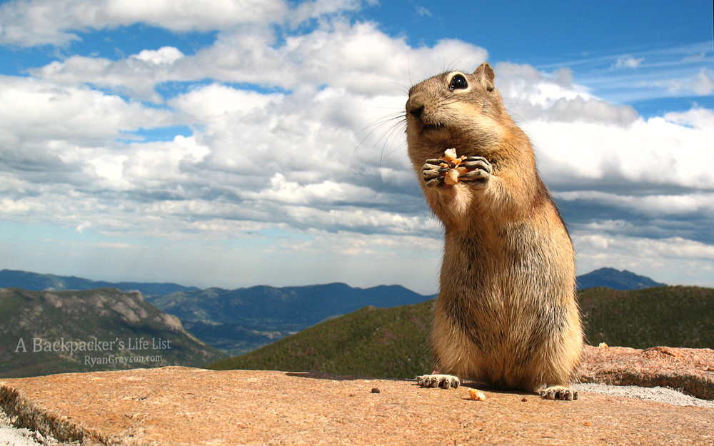 Chipmunk Near Trail Ridge Road