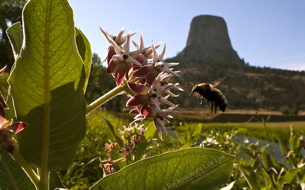 Bee at Devil's Tower