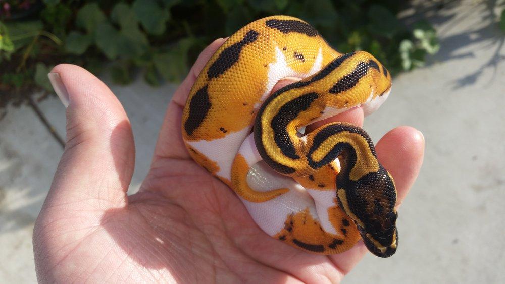 Breeding Projects Rich Mccolls Serpents