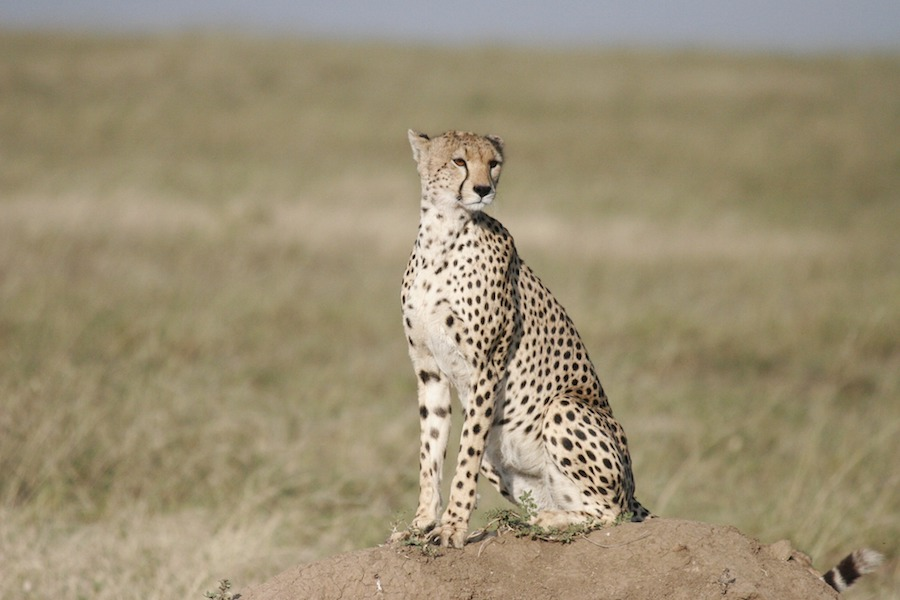 cheetah-small.jpg