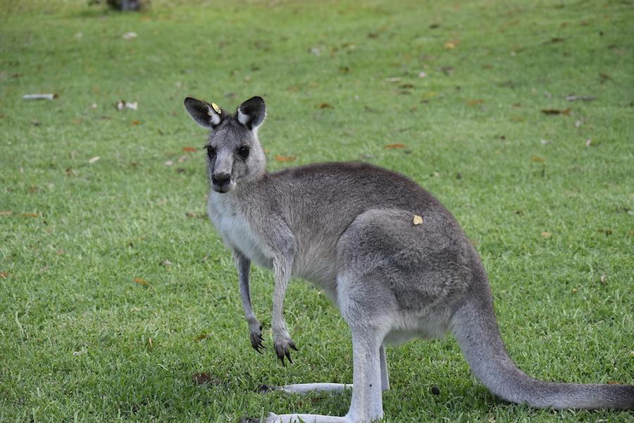 kangaroo-small.jpg