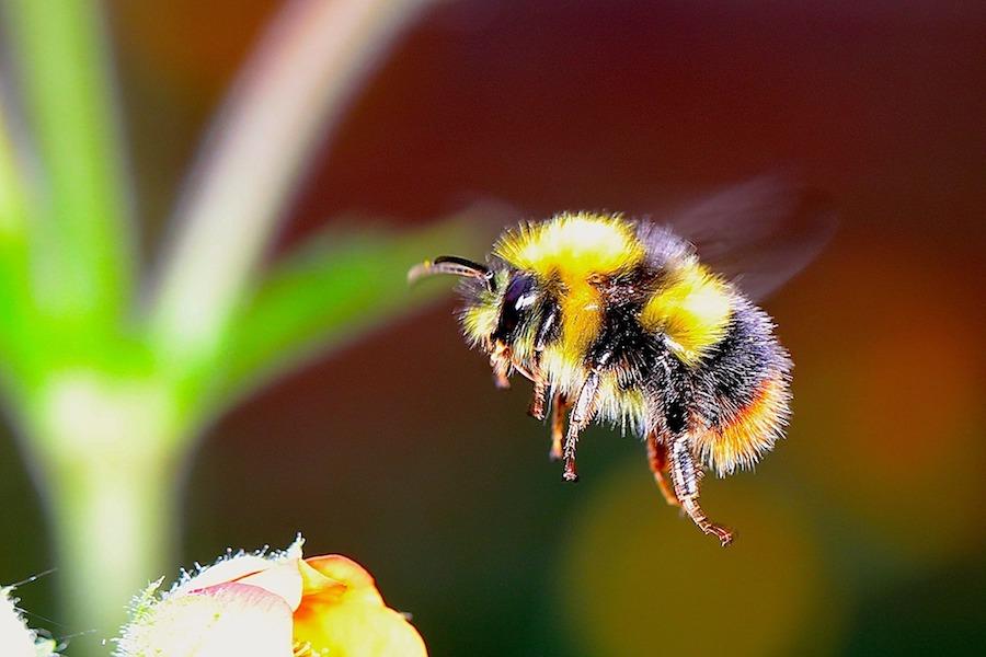 bumble-bee-small.jpg