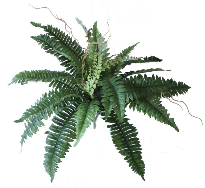 SMI National_Calypso Fern 73cm.JPG