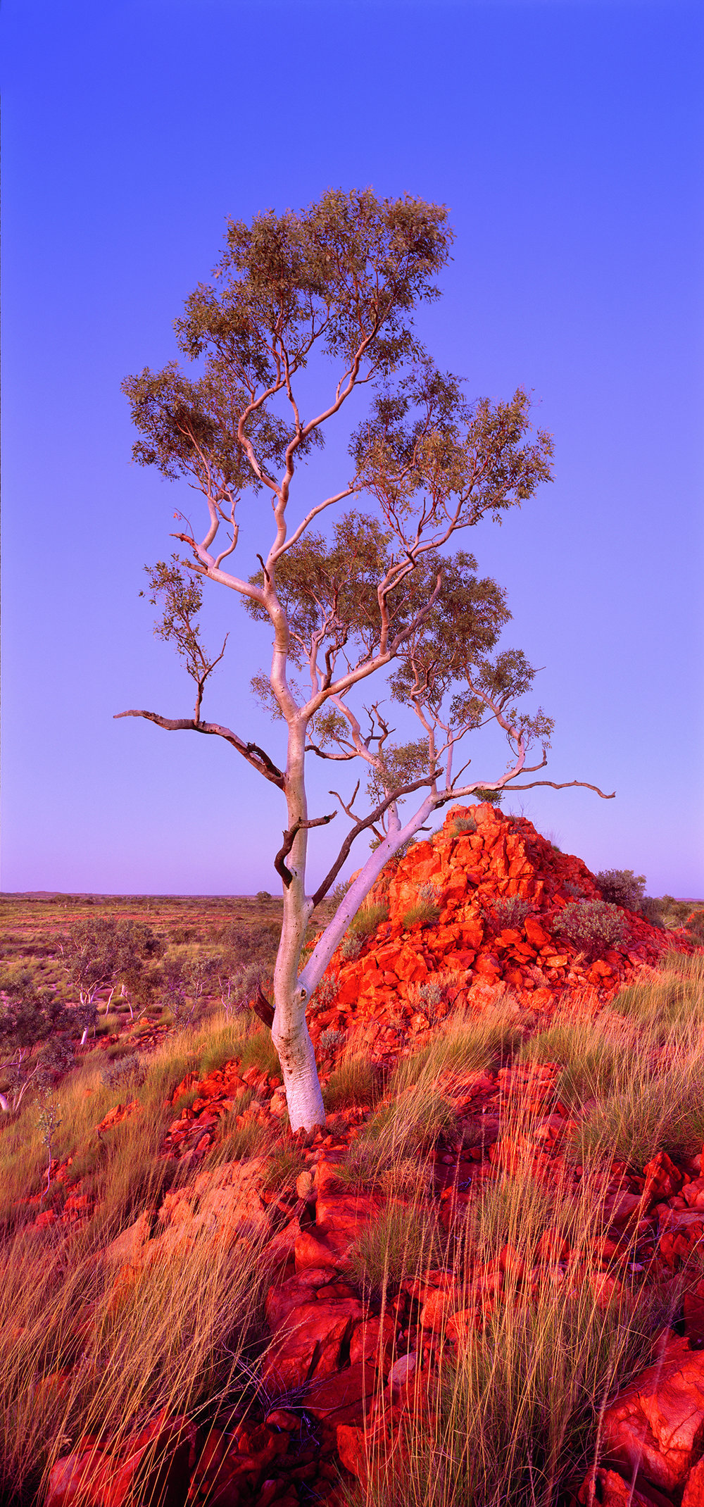 Snappy Gum, Rudall River National Park, Little Sandy Desert, Pilbara, Western Australia, 2011.  Edition of 3.