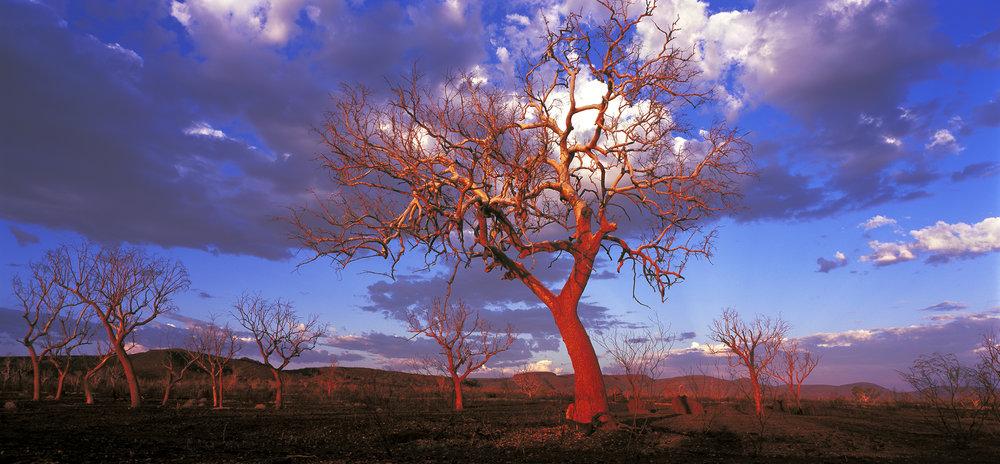 Snappy Gum, Hamersley Range, Western Australia, 2014. Edition of 3.