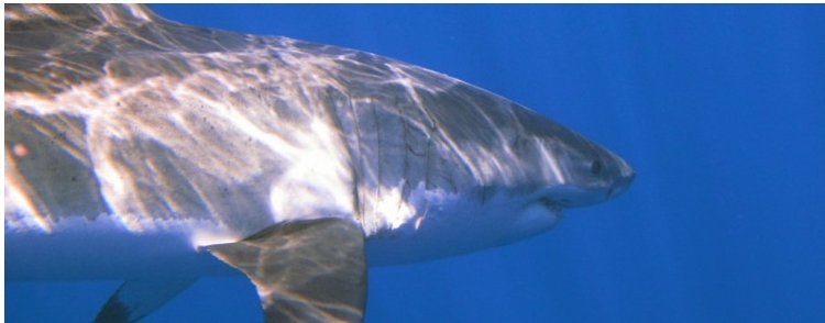 November Dive Club Meeting- All about Sharks!!