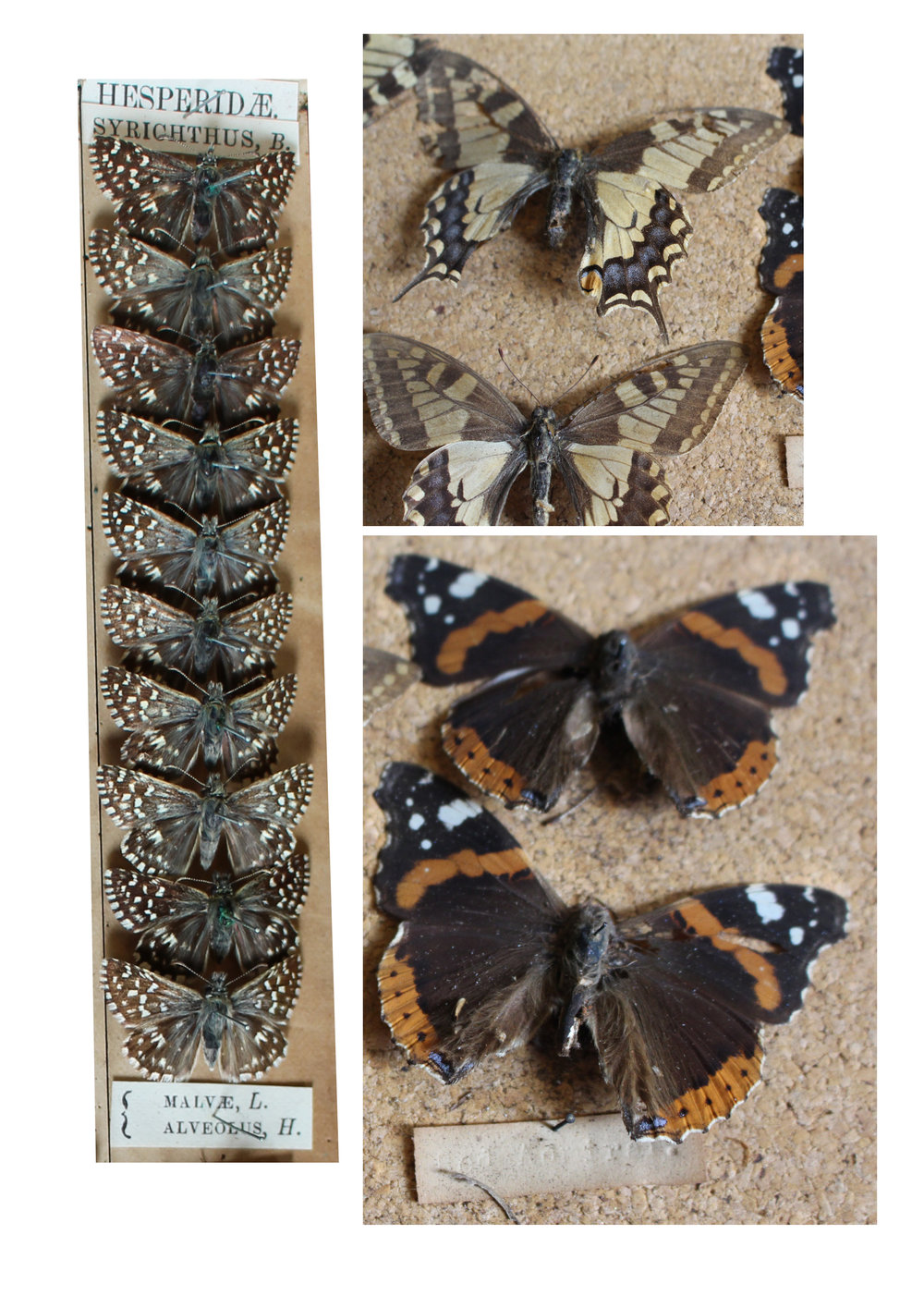 These red admirals have seen better days!