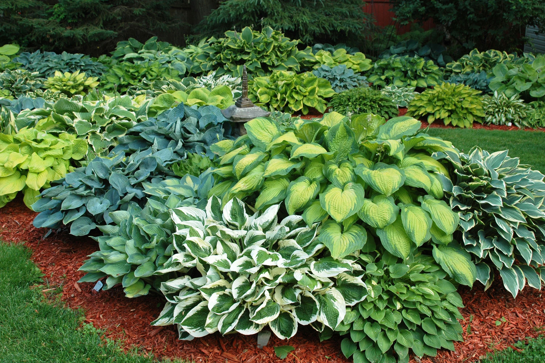 Hosta Fragrant Upright Bare Root Plant Mix Pacific Royal