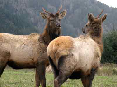 roosevelt-elk-redwood-parks.jpg