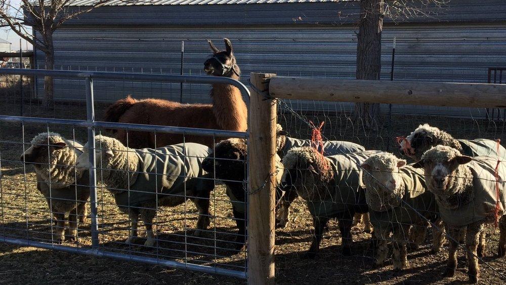 sheep+in+pen.jpg