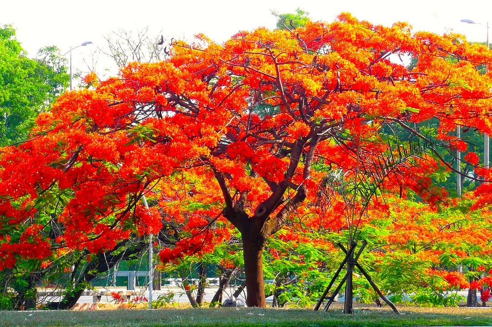 Flamboyant tree, Puerto Rico (Photo credit:  Solange C  via  Visual hunt  /   CC BY-NC-ND
