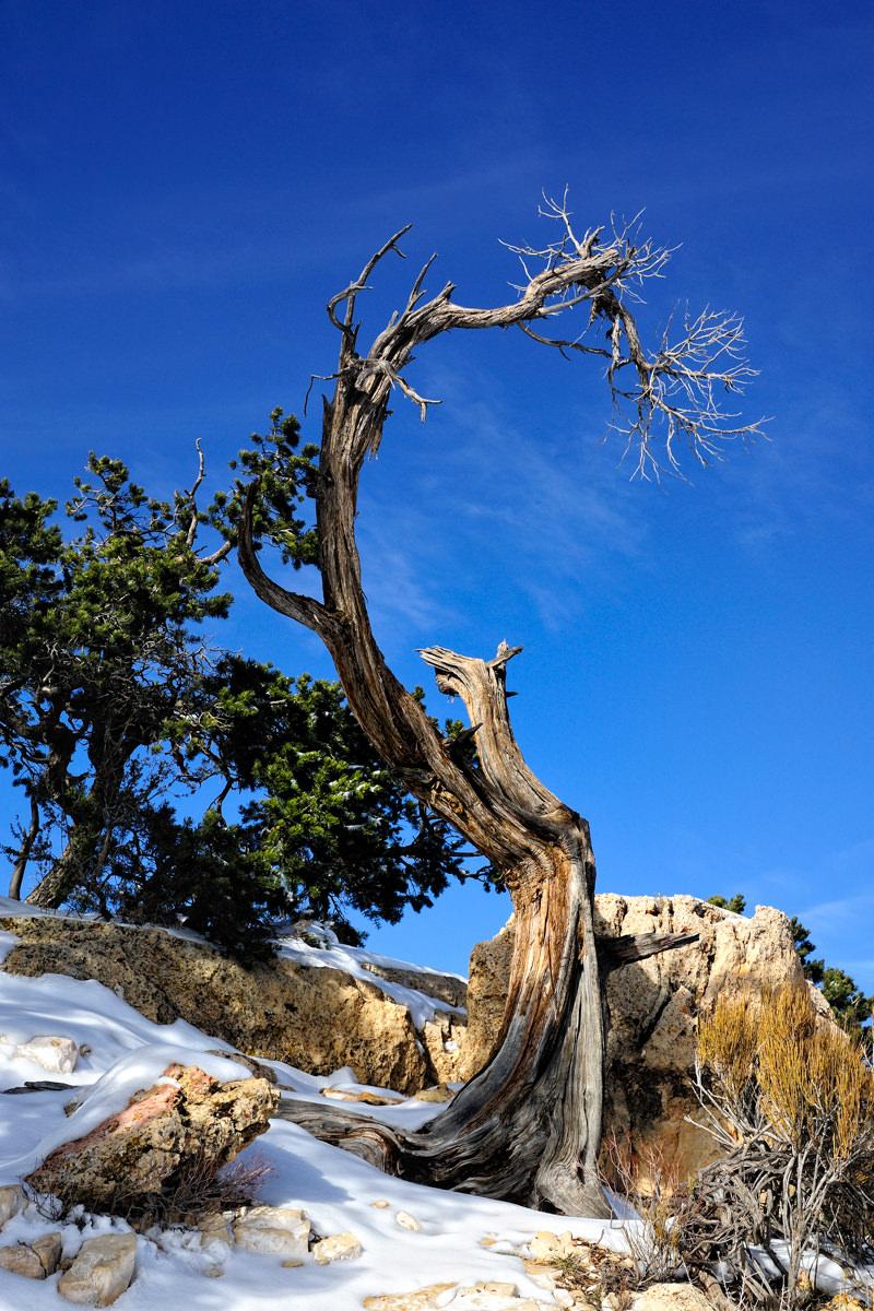 Ancient Winter Sentinel