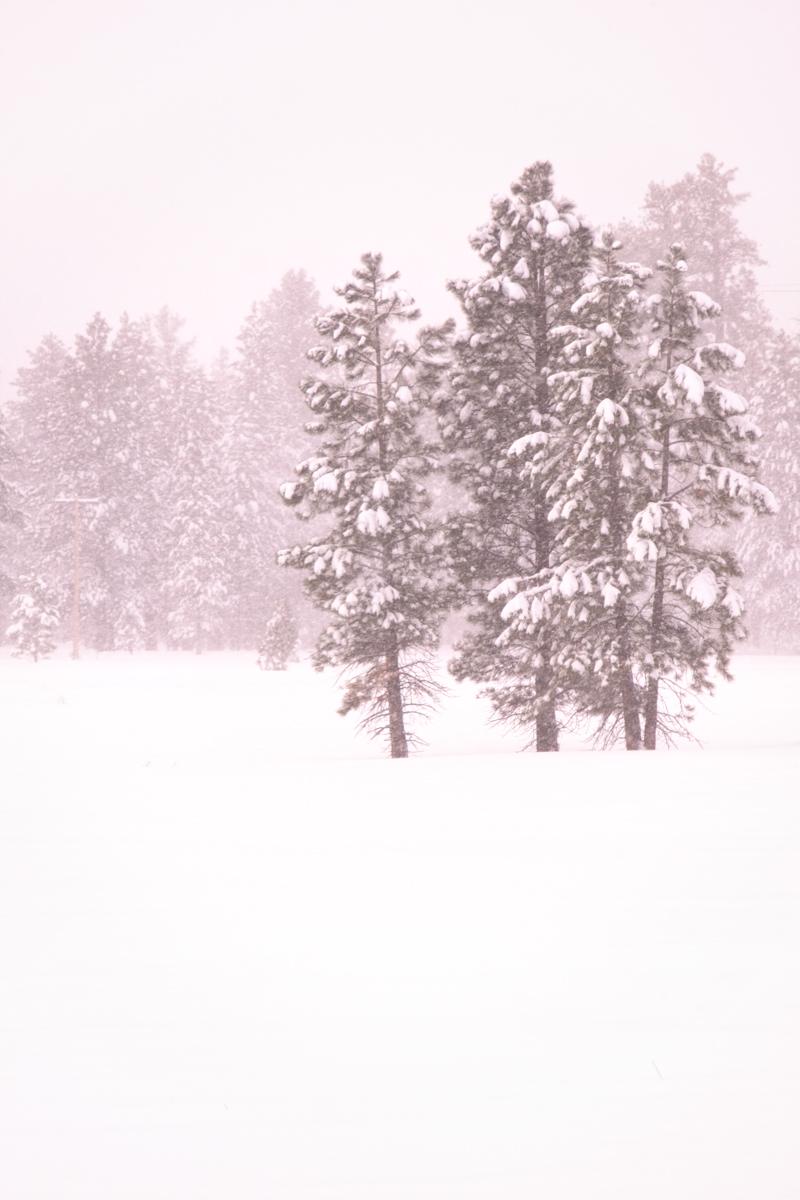 Ponderosa Pine Whiteout