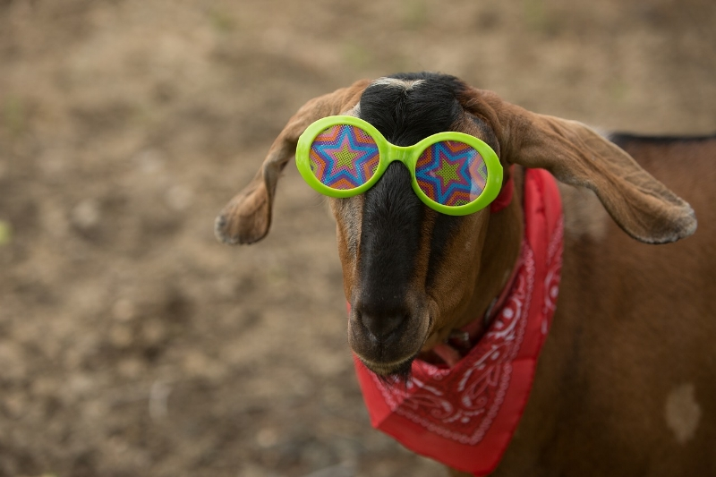 I can't really give you a picture of an attached home since it would just look like any other townhouse or condo or townhouse style condo. So, here's a picture of a goat in silly glasses. Which is almost as silly as these classification conventions.