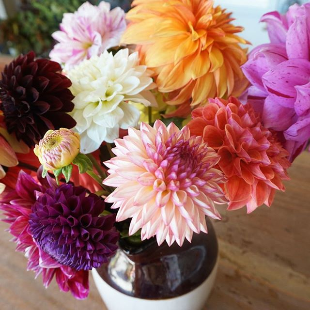 All right friends, the last day of our u-pick and shop will be Sunday, October 21st. It's been wonderful having so many of you come out these last few weeks, thanks for putting all these blooms to good use. For store hours and FAQs visit our website, link in profile. #dahlias #pescadero