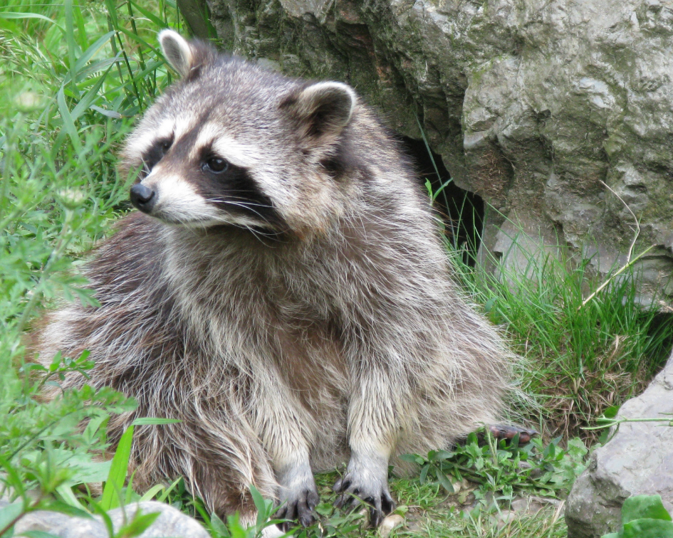 To rid your home or business of unwanted raccoons we will:  1) Investigate chimneys, attics, crawl spaces for entryways.  2) Humanely trap & relocate raccoons to a suitable habitat  3) Install chimney caps, close openings on roof and crawl spaces  *Service also includes trapping and removing raccoons from storage sheds, window wells, hot tubs and yards.
