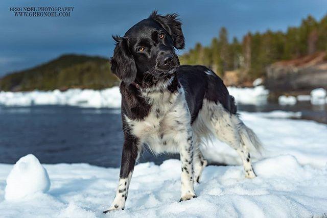 It's hard to believe it has been a year already since I met and photographed Wilhelmina the Stabyhoun @wilcocksonwillie She was such a fun dog to shoot.  I'm now taking bookings for the summer.  DM or visit www.gregnoel.com for info  #stabyhoun #friesestabij  #petsofinstagram #dogsofinstagram #dogstagram #instadog #ilovemydog #dogoftheday #dogsofinstaworld #topdogphoto #a_dogsworld #dogsoftheworld #dogphotooftheday #dog_features #dogoftheday #pets_of_instagram #doglover #dogs #dog #mansbestfriend #dogsofnewfoundland #dogsofcanada