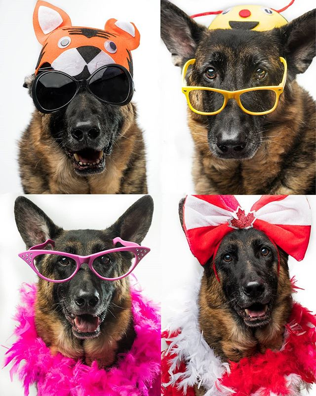 Who's going to the @spcastjohns  Paws on the Pond this Saturday?  We will be there with a fun photo booth set up for your pups.  We have a variety of costumes and accessories for your dog to wear at the booth.  Guinness is modeling a few of the items in the pic.  Pics at the booth will be $25  each with $5 from each pic going to the SPCA.  I am still deciding on a background, may do white, may keep it natural.  It will depend on the weather/wind and if it is suitable to set up a backdrop or not outside. But either way the photobooth will be a LOT of fun for you and your pup.  If you haven't registered for the event and would like more information you can get the details here:  https://www.facebook.com/events/194171181343655/  Hope to see you Saturday.
