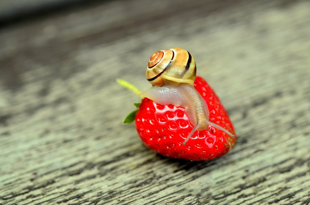 strawberry-snail-tape-worm-animal.jpg