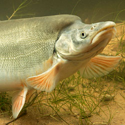 SEE: The endangered Humpback Chub - It's totally a thing.