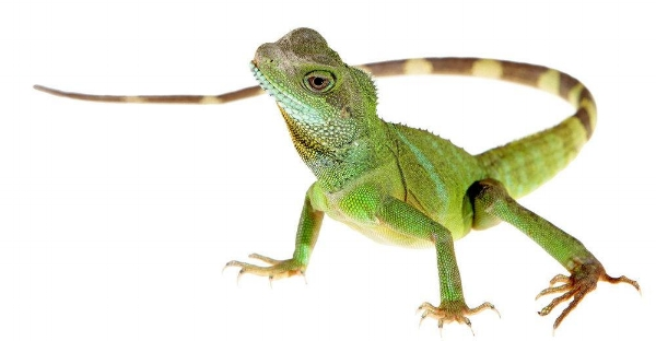 1) A Lizard of Any Kind -