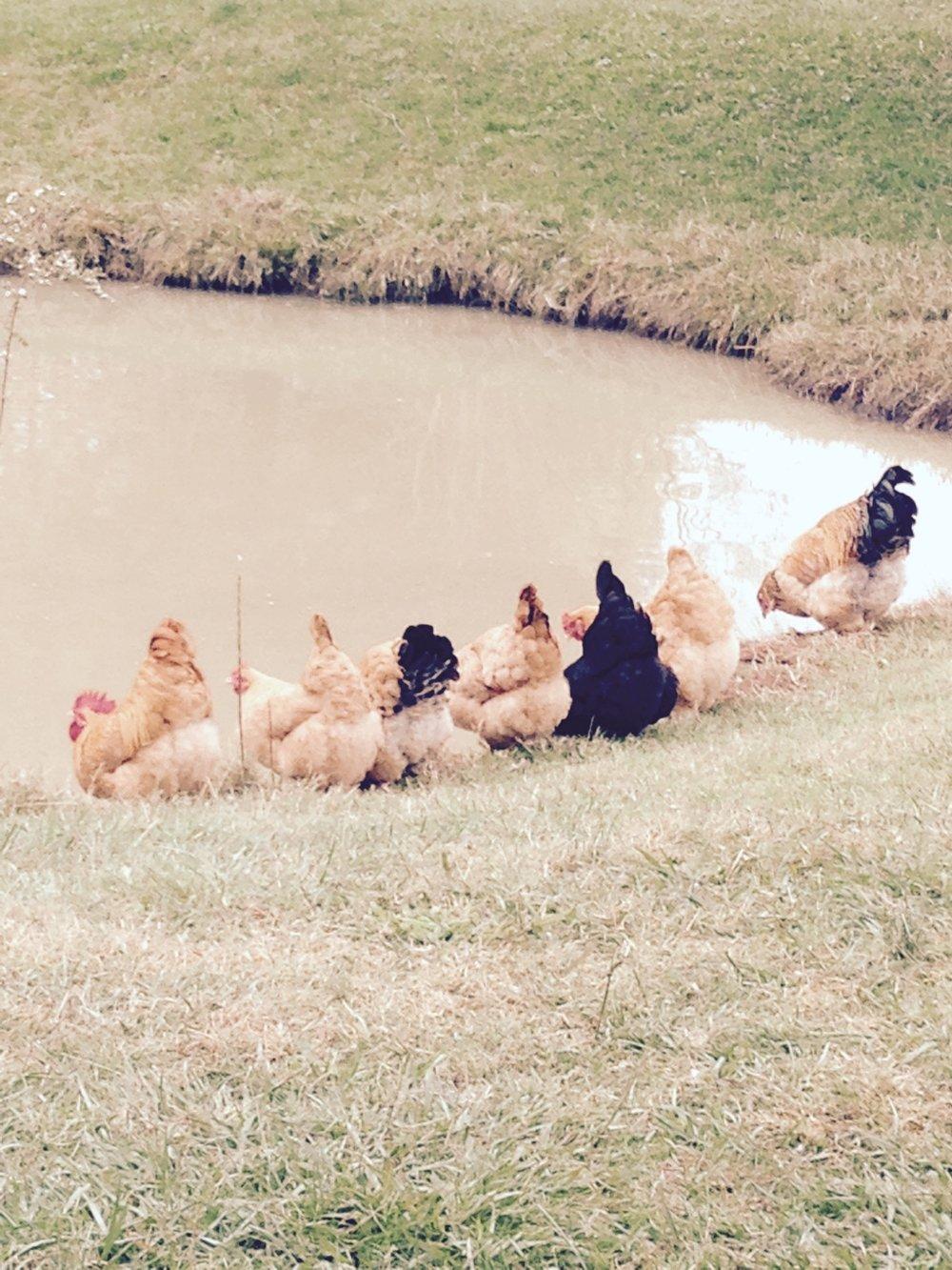 Chicks in a Row.jpg