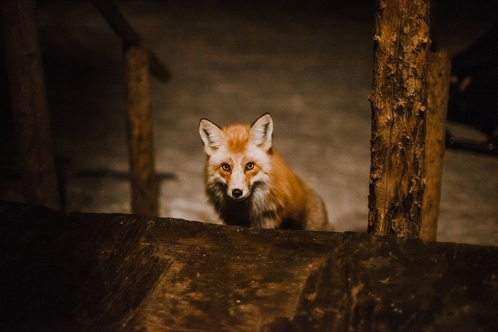 wild fox, frisco colorado elopement photographer, breckenridge colorado elopement photographer, leadville colorado elopement photographer, leadville wedding photographer