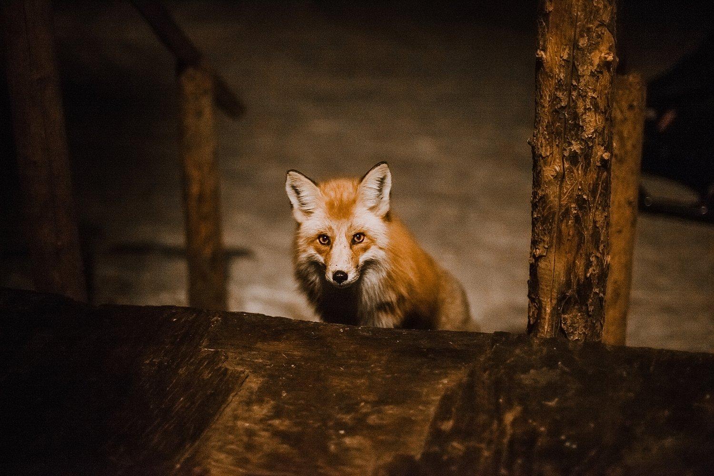 Fantastic Mr Fox Says Hello At Snowcaps Dogsledding In Breckenridge Colorado Two Were Tamed