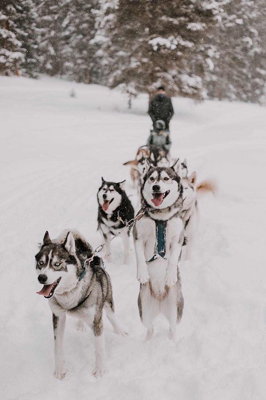 playful husky, sled dog, dogsledding, winter, winter elopement, winter wedding, breckenridge colorado photographer, colorado dog sledding, alaska, dogsledding elopement, snowmobiling elopement