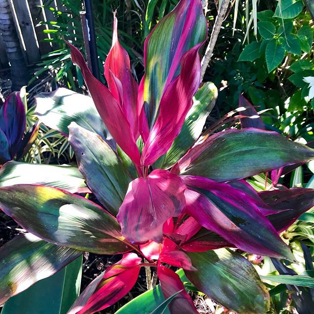 Cordyline Showtime here in the Tropics of beautiful Mackay #mackaypride #blondiesbins #lovemyplants