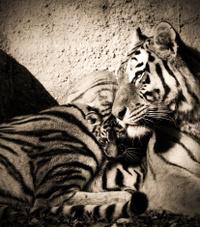 40963242-tiger-mum.jpg
