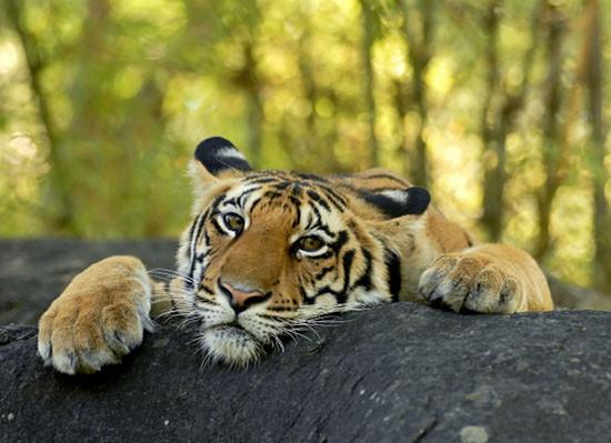 sad-tiger.jpg