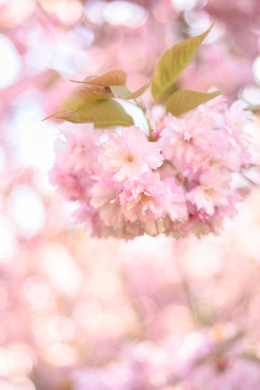 cherry blossoms paris-3.jpg