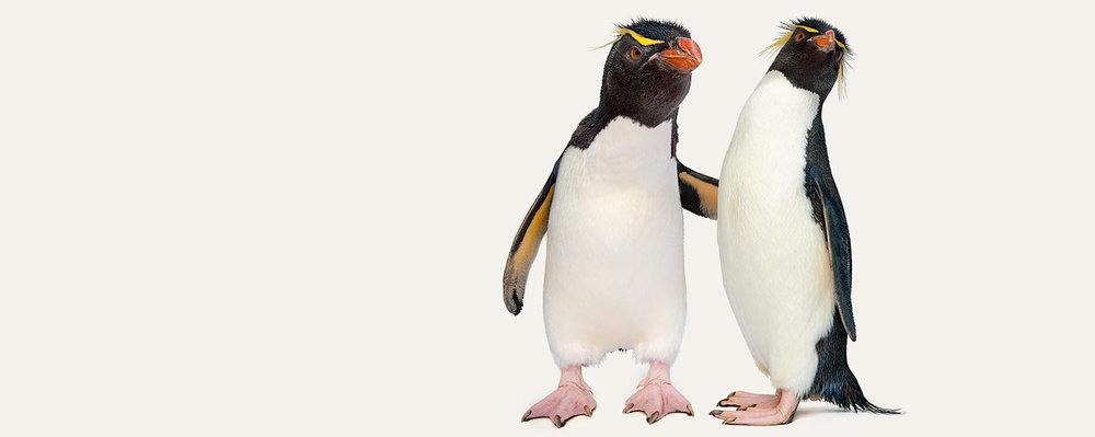 penguin-couple-teaser.jpg