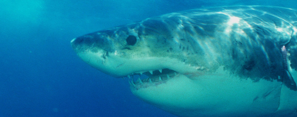 great-white-shark-stock.jpg