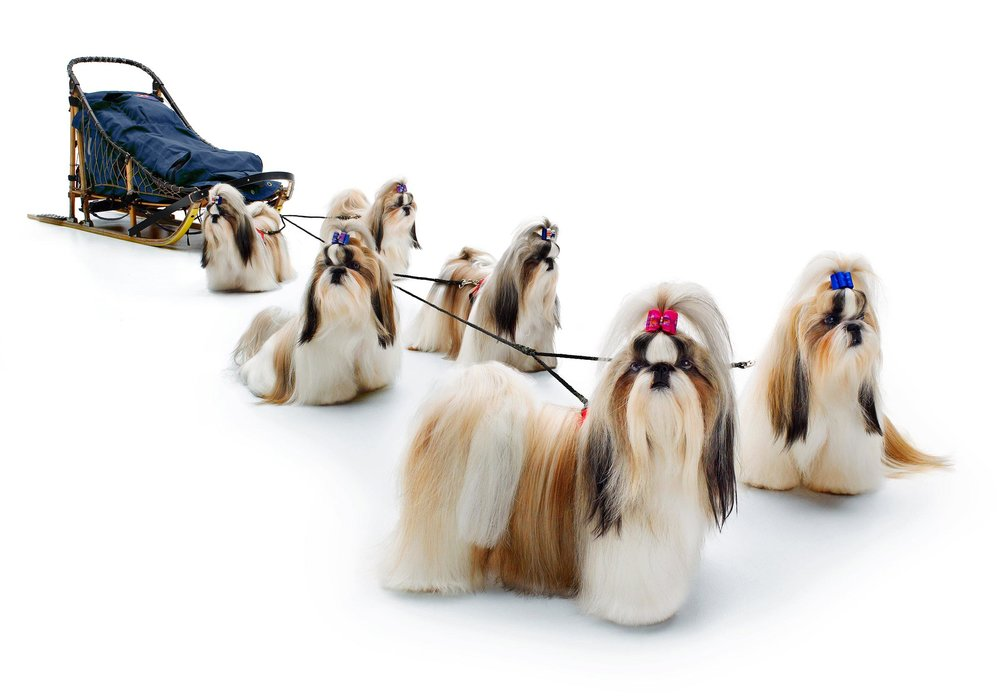 Lhasa Apso dog sled team?
