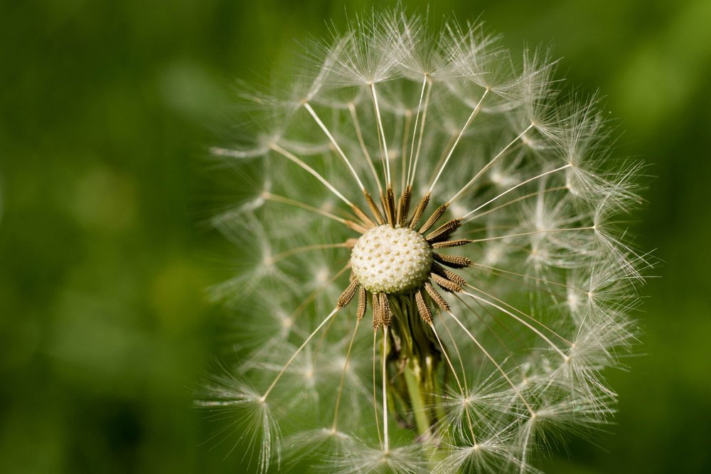 3032601-bloom_blossom_dandelion_flower_flowers_green_half_helped_macro_plant_plants_royalty-free_seeds_spring.jpg