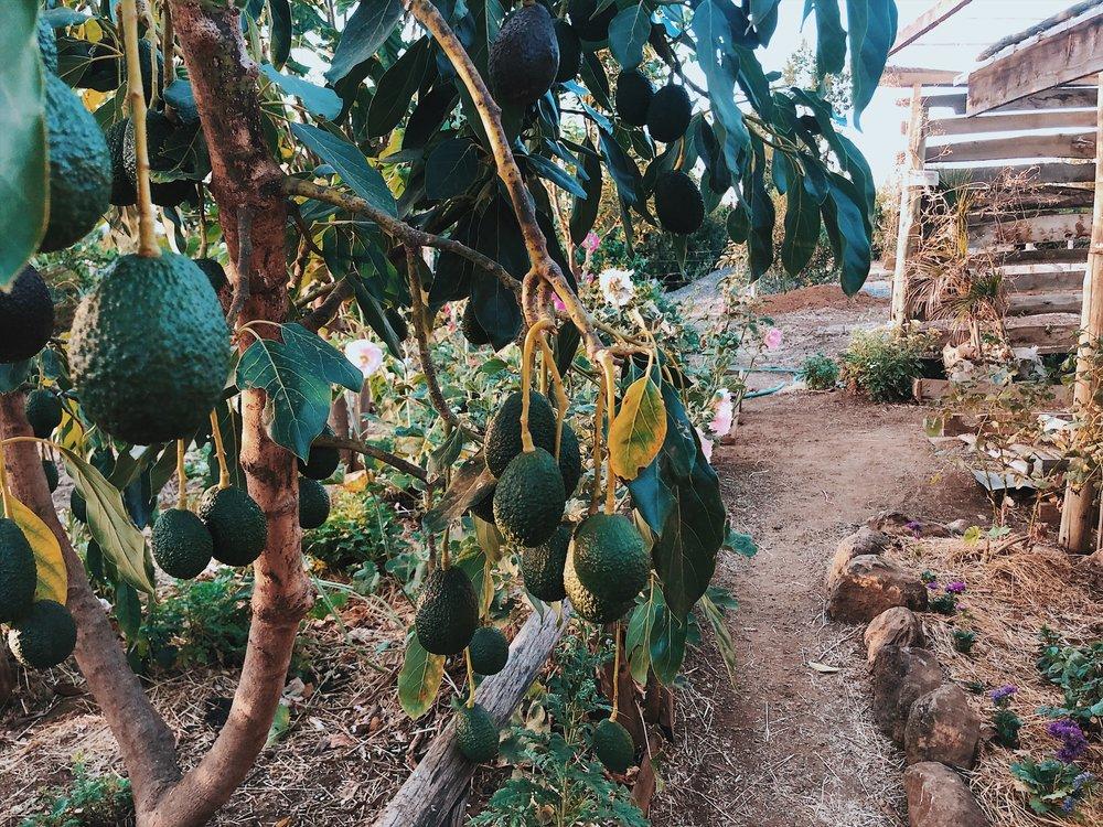 avocado olepangi farm real food health