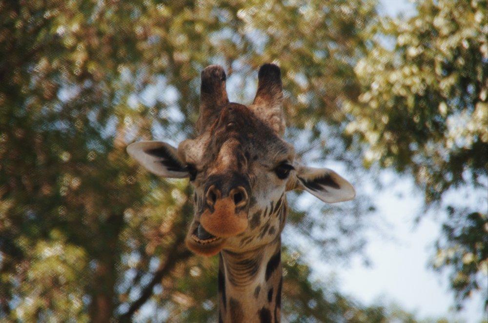 giraffe safari angama mara kenya masai mara