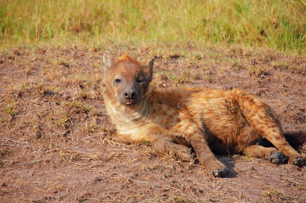 hyena angama mara masai mara kenya