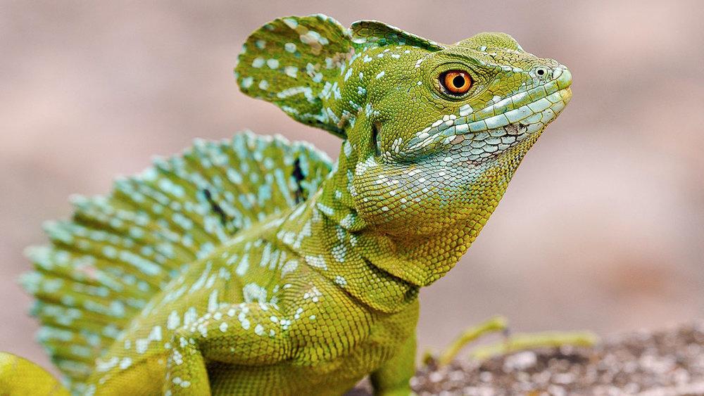 Basillik Lizard
