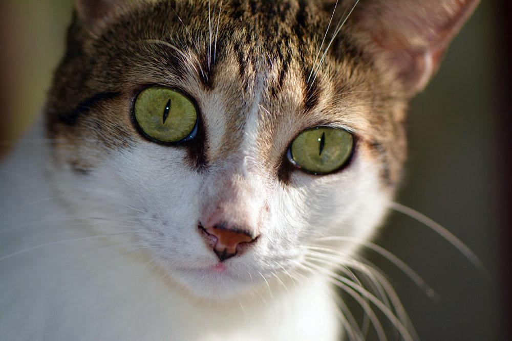 Felis catus (schmort)
