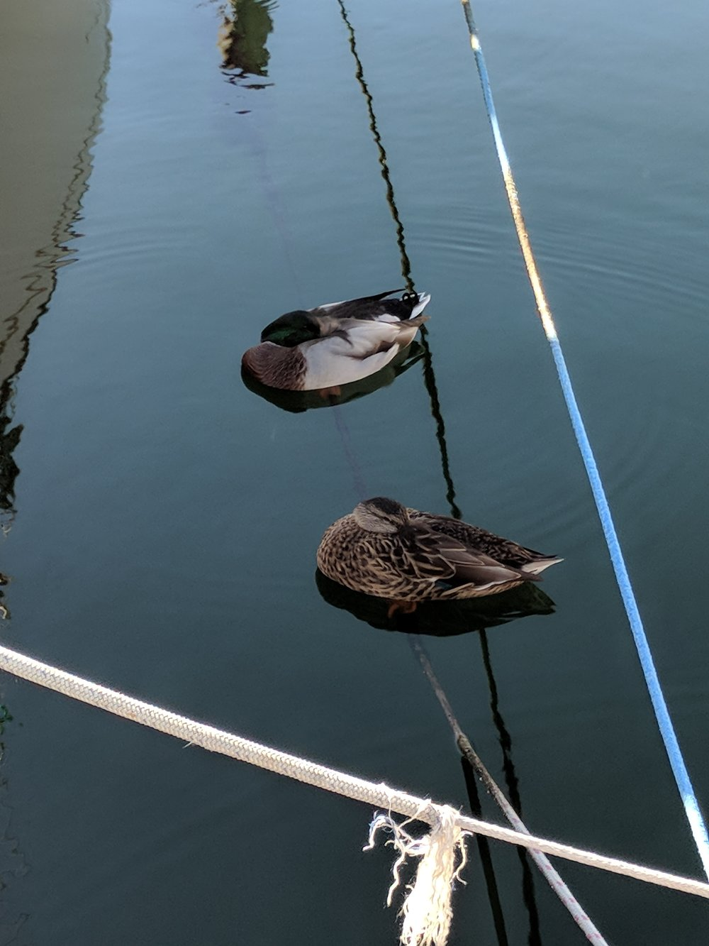 Ducks sleeping on the water.
