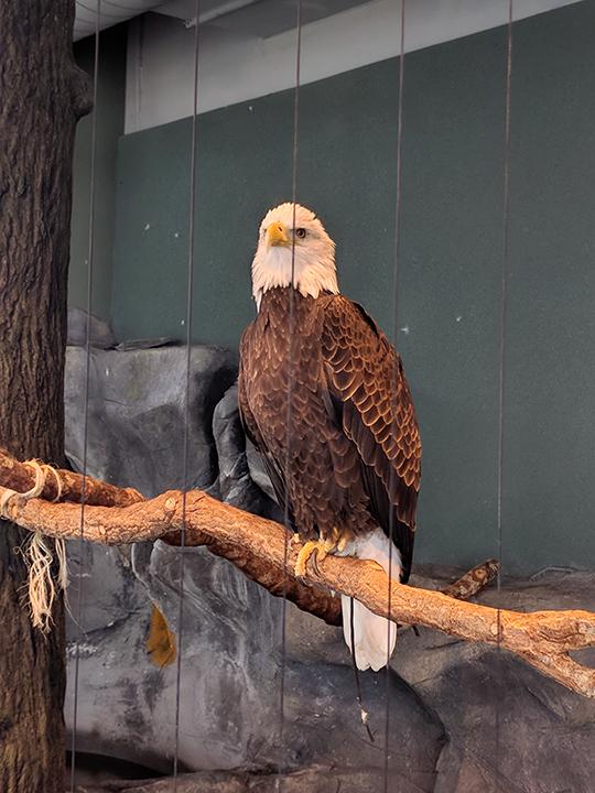 Aquarium: Majestic Bald Eagle.