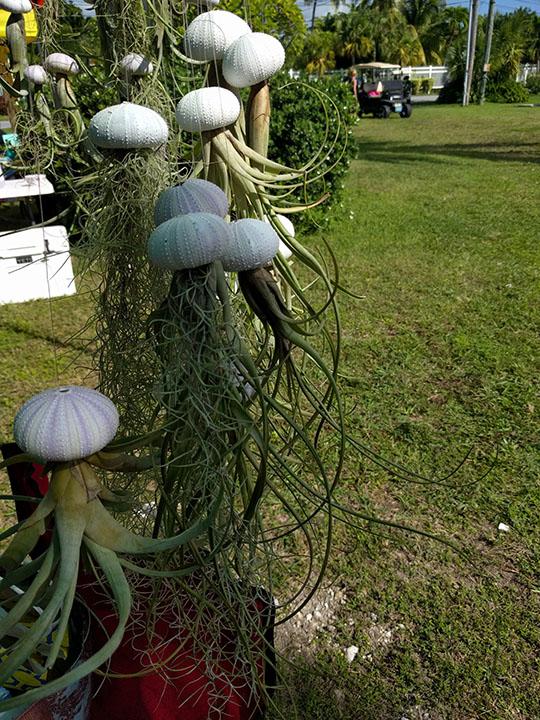 Self watering air plants growing in shells!