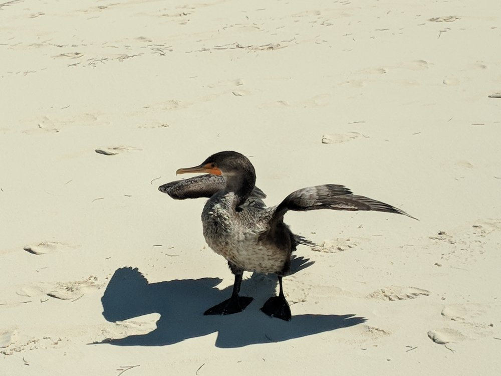 Cormorant keeping cool by the water.